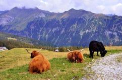 Weiden lassen der Kühe Stockfotografie