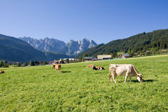 Weiden lassen der Kühe Stockfoto