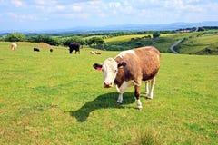 Weiden lassen der Kühe auf den Hügeln von Schottland Stockbilder