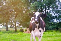 Weiden lassen der Kühe auf grüner Wiese Stockbild