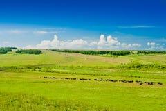 Weiden lassen der Kühe auf Weide Lizenzfreie Stockbilder