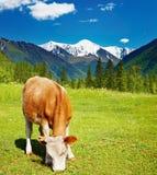 Weiden lassen der Kuh Lizenzfreies Stockbild