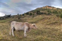 Weiden lassen der Kuh Lizenzfreie Stockfotografie