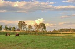 Weiden lassen der Kuh Stockbild