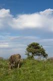 Weiden lassen der Kuh Stockfotografie