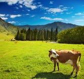 Weiden lassen der Kuh Stockbilder