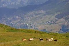 Weiden lassen der Kuh auf grüner Wiese in den Kaukasus-Bergen Stockfotografie