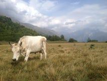Weiden lassen der Kuh in Svaneti Stockfotografie