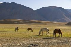 Weiden lassen der Pferde Stockfotografie