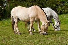 Weiden lassen der Pferde. Lizenzfreie Stockbilder