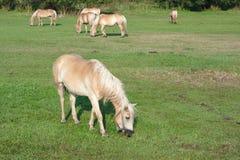 Weiden lassen der Pferde Lizenzfreie Stockfotos