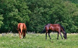 Weiden lassen der Pferde Stockfotos