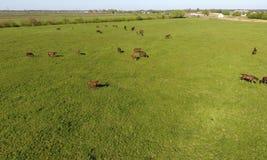 Weiden lassen der Pferde auf dem Feld Schießenpferde vom quadrocopter Weide für Pferde Lizenzfreies Stockbild