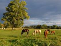 Weiden lassen der Pferde auf dem grünen Feld Stockfotos