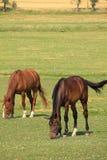 Weiden lassen der Pferde auf dem grünen Feld Stockfoto