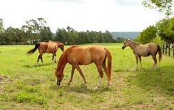 Weiden lassen der Pferde auf einem Gebiet Stockfotos