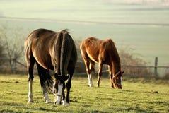Weiden lassen der Pferde am Sonnenuntergang Stockfotografie