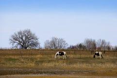 Weiden lassen der Pinto-Pferde im Winter Lizenzfreie Stockbilder