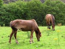 Weiden lassen der Ponys lizenzfreie stockfotos