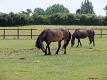 Weiden lassen der Ponys Stockbilder