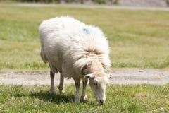 Weiden lassen der Schafe stockbild