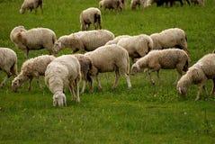 Weiden lassen der Schafe Lizenzfreie Stockfotos