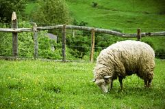Weiden lassen der Schafe lizenzfreie stockbilder