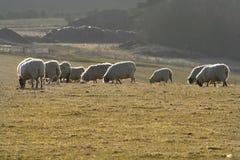 Weiden lassen der Schafe lizenzfreies stockbild