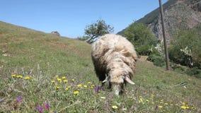 Weiden lassen der Schafe auf einer Wiese stock video footage