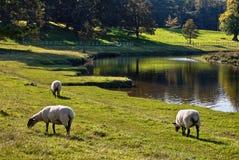 Weiden lassen der Schafe durch einen Fluss Lizenzfreie Stockfotos