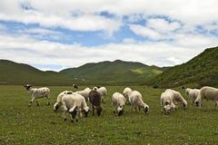 Weiden lassen der Schafe in einer üppigen Wiese Stockfotografie