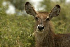 Weiden lassen der Waterbuck Kuh Lizenzfreie Stockfotos