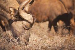 Weiden lassen des afrikanischen Büffels in Addo Elephant NP, Südafrika Stockbild