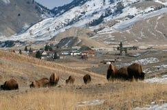 Weiden lassen des Büffels Lizenzfreie Stockbilder