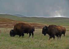 Weiden lassen des Büffels Stockfoto