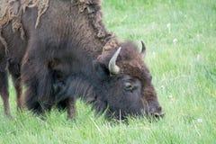 Weiden lassen des Bisons Lizenzfreie Stockfotos