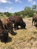 Weiden lassen des Bisons stockbilder