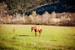 Weiden lassen des braunen Pferds auf dem grünen Feld Lizenzfreie Stockbilder
