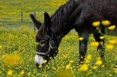 Weiden lassen des Esels Stockbild