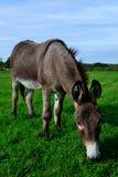 Weiden lassen des Esels Stockfotos