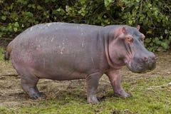 Weiden lassen des Flusspferds Stockfoto