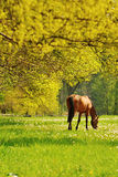 Weiden lassen des Pferds Stockbilder