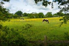Weiden lassen des Pferds Lizenzfreie Stockfotografie