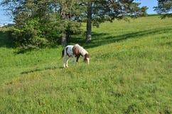 Weiden lassen des Pferds auf grünem Feld Lizenzfreie Stockbilder
