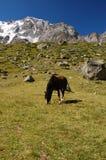 Weiden lassen des Pferds am Berg Lizenzfreies Stockbild