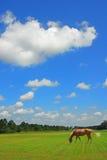 Weiden lassen des Pferds in der Weide Stockfotografie