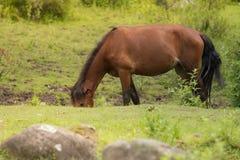 Weiden lassen des Pferds in der Wiese Stockfotos