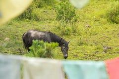 Weiden lassen des Pferds in der Wiese Stockfotografie