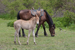 Weiden lassen des Pferds mit Fohlen Stockfotos