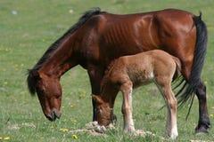 Weiden lassen des Pferds und des Fohlens Lizenzfreie Stockfotos